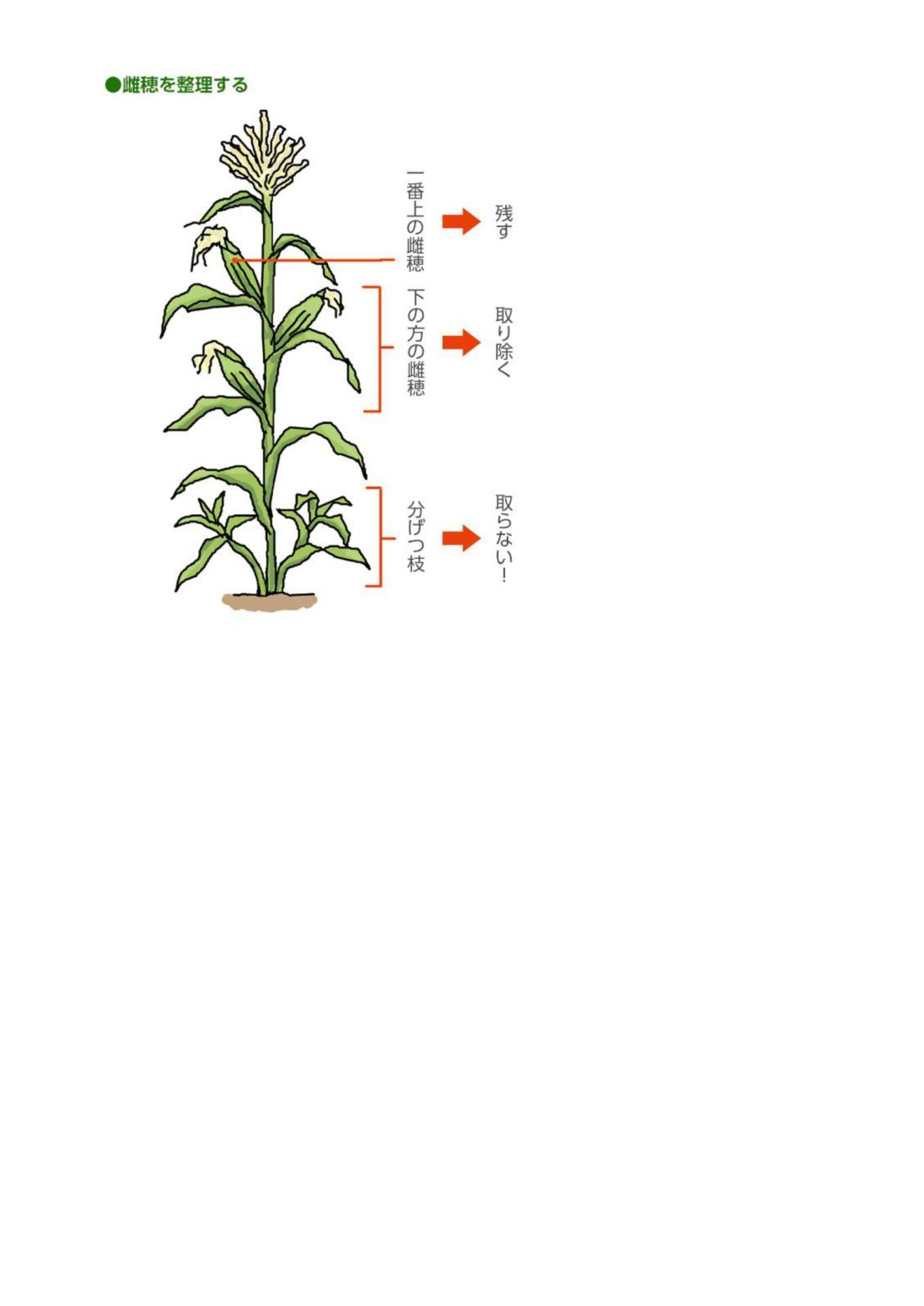 とうもろこし栽培3